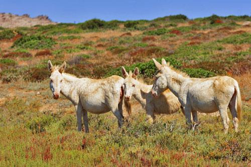 weiße Esel auf Asinara