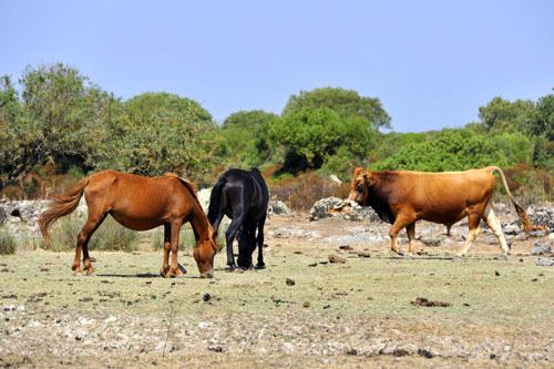 Wildpferde und Stiere auf der Giara di Gesturi