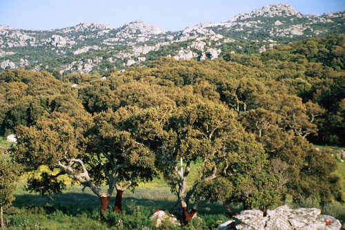 Korkeichen-Wald