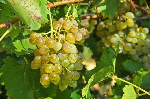 Weinanbau in der Gallura
